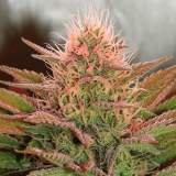 Bubblelicious Feminized