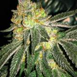 Grease Monkey Feminized
